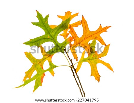 Red oak leaves on the branch changing color to yellow at the beginning of autumn, isolated on white - stock photo