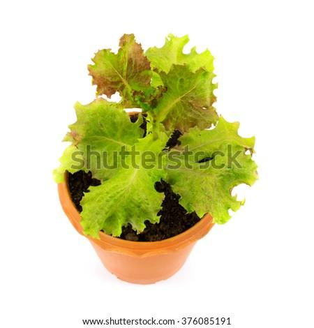 red oak lettuce leaf in pot on white background - stock photo