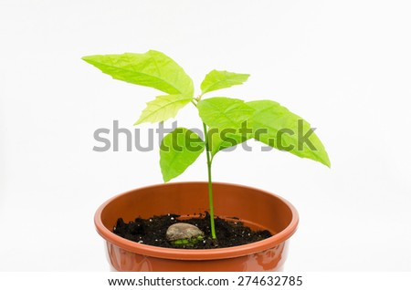 red oak propagation from seed (acorn) - stock photo