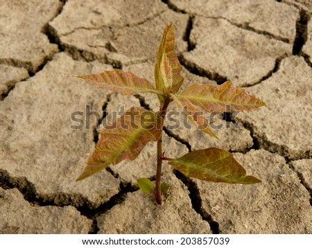red oak tree sapling three-four weeks from germination growing in arid zone - stock photo