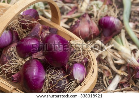 Red onions in wooden trug