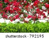 Red or maroon bougainvillea creeping up a white paint wall in Spain - stock photo