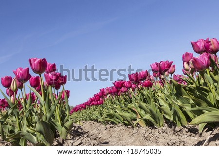 red or pink tulips in flower field with blue sky in the dutch noordoostpolder from low angle - stock photo