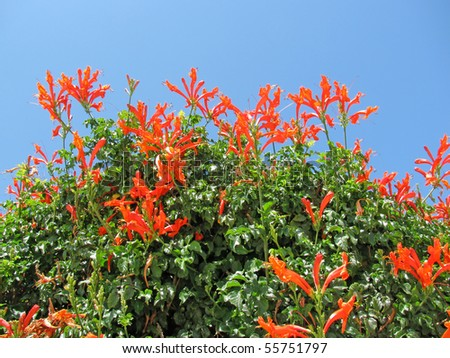 Red-orange flower Cape Honeysuckle (Tecomaria capensis) - native for South Africa shrub - stock photo