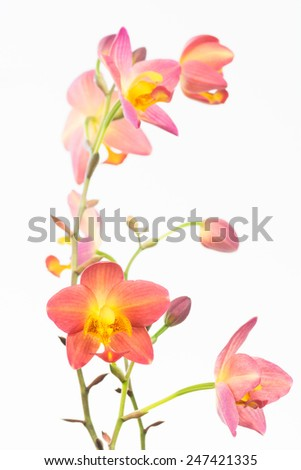 Red orange Philippine ground orchids and buds over white background - stock photo