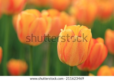 red orange tulip in the garden, spring flowers in the park