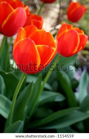 Red orange Tulips - stock photo