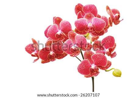 red orchid beauty - stock photo