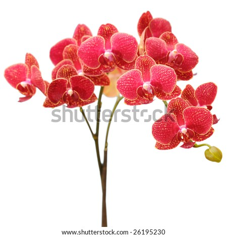 red orchid bouquet - stock photo