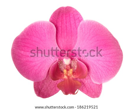 Red orchid. Deep focus. No dust. No pollen. Isolated on white background.  - stock photo