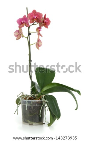 Red orchid in flower - pot on white background - stock photo