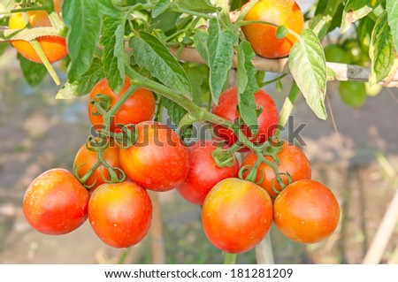 red organic tomato plant and fruit - stock photo