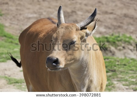 Red Oxen - stock photo