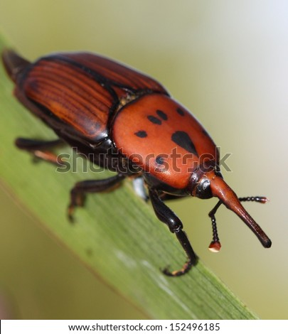 Red palm weevil - stock photo