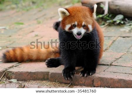 Red Panda Bear - stock photo