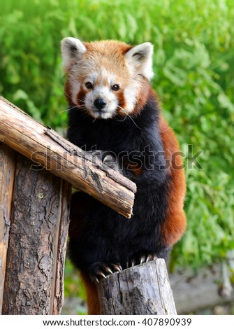 Red panda bear (Ailurus fulgens) - stock photo