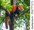 red panda bear climbing tree