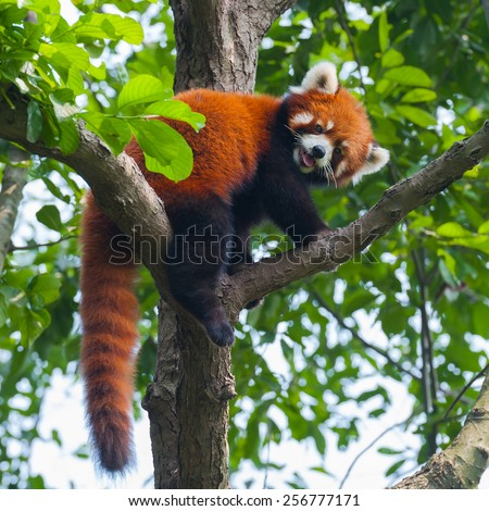 Red panda bear climbing tree - stock photo