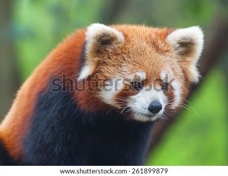 Red panda bear close-up - stock photo