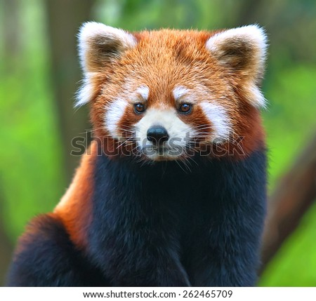 Red panda bear close-up - stock photo