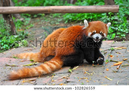 Red panda bear eating - stock photo