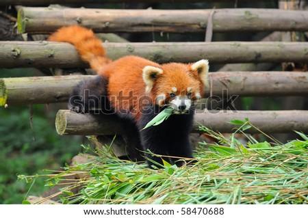 Red panda bear eating bamboo leaves - stock photo