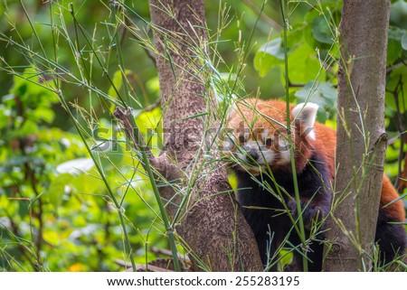 Red panda bear in a tree - stock photo
