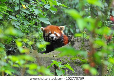 Red panda bear in nature - stock photo