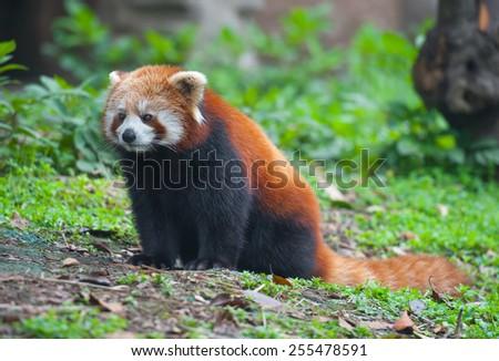 Red panda bear in nature - stock photo