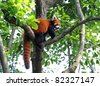 Red panda bear in tree - stock photo