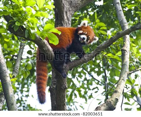 Red panda bear in tree - stock photo