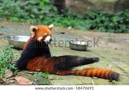 Red panda bear stretching leg - stock photo