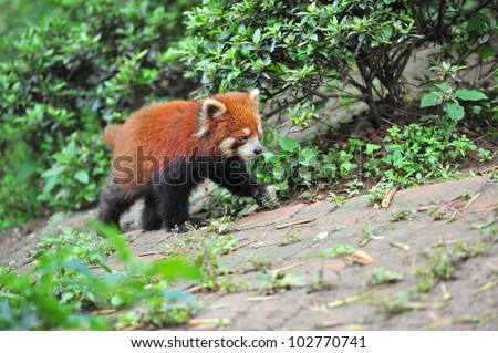Red panda bear walking - stock photo