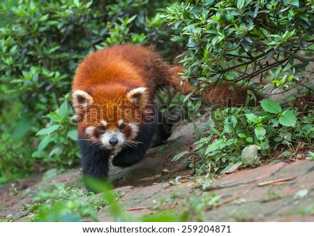 Red panda bear with long tail - stock photo