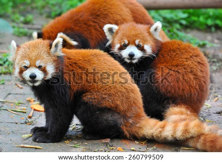Red panda bears sitting together - stock photo