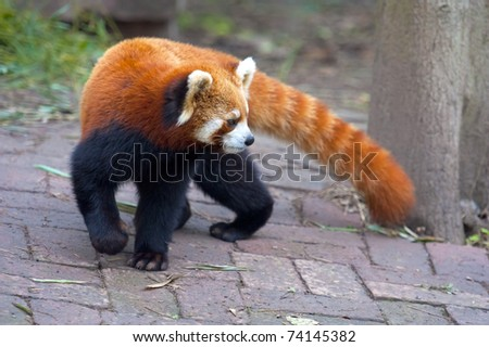 Red panda beat making a turn - stock photo