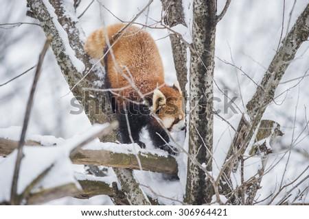 red panda climb on the tree - stock photo