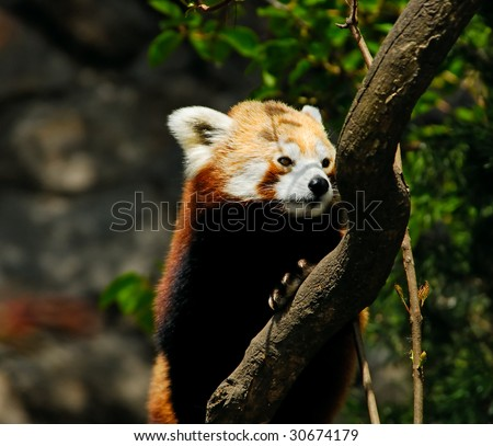 red panda climbing on the tree trunk - stock photo
