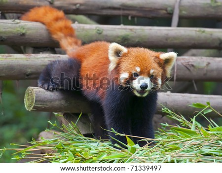 Red panda coming out for food - stock photo