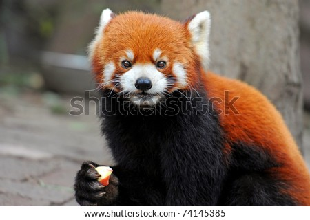 Red panda eating apple - stock photo