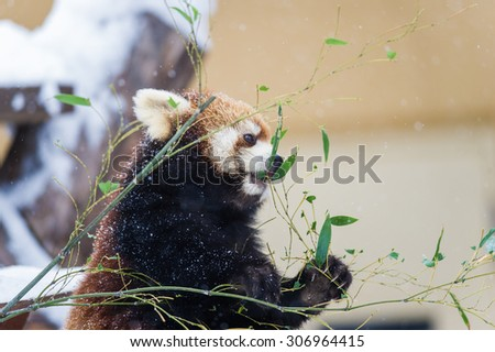 red panda eating bamboo in the winter - stock photo