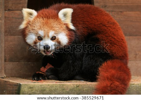 Red panda eating in a ZOO - stock photo