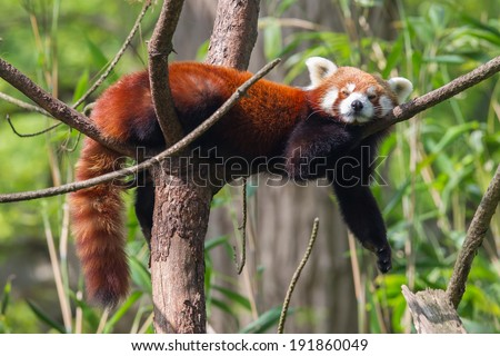 Red Panda, Firefox or Lesser Panda (Ailurus fulgens) resting in a tree - stock photo