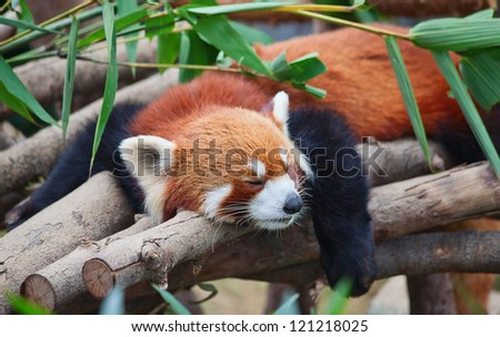 Red panda (firefox) sleeping on the tree
