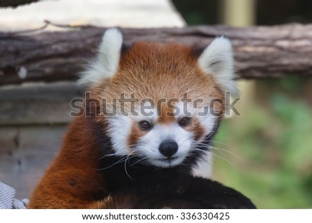 Red Panda in Toronto ZOO - stock photo