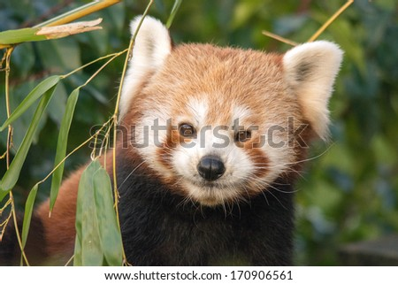 Red panda looking straight ahead - stock photo