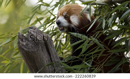 red panda looks around from high up in a tree - stock photo