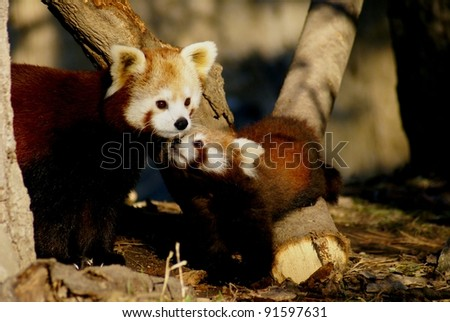 red panda - mother and offspring
