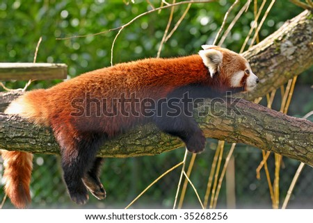 red panda on a branch - stock photo