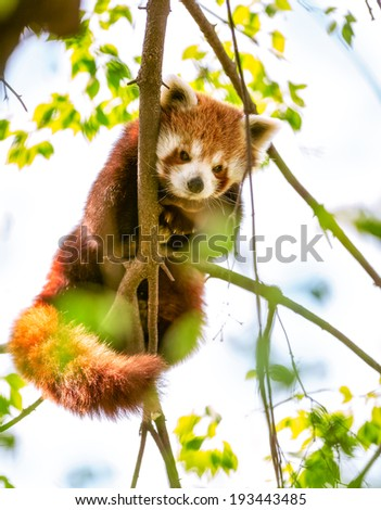 Red Panda  or Lesser Panda hanging on a branch high in a tree - stock photo